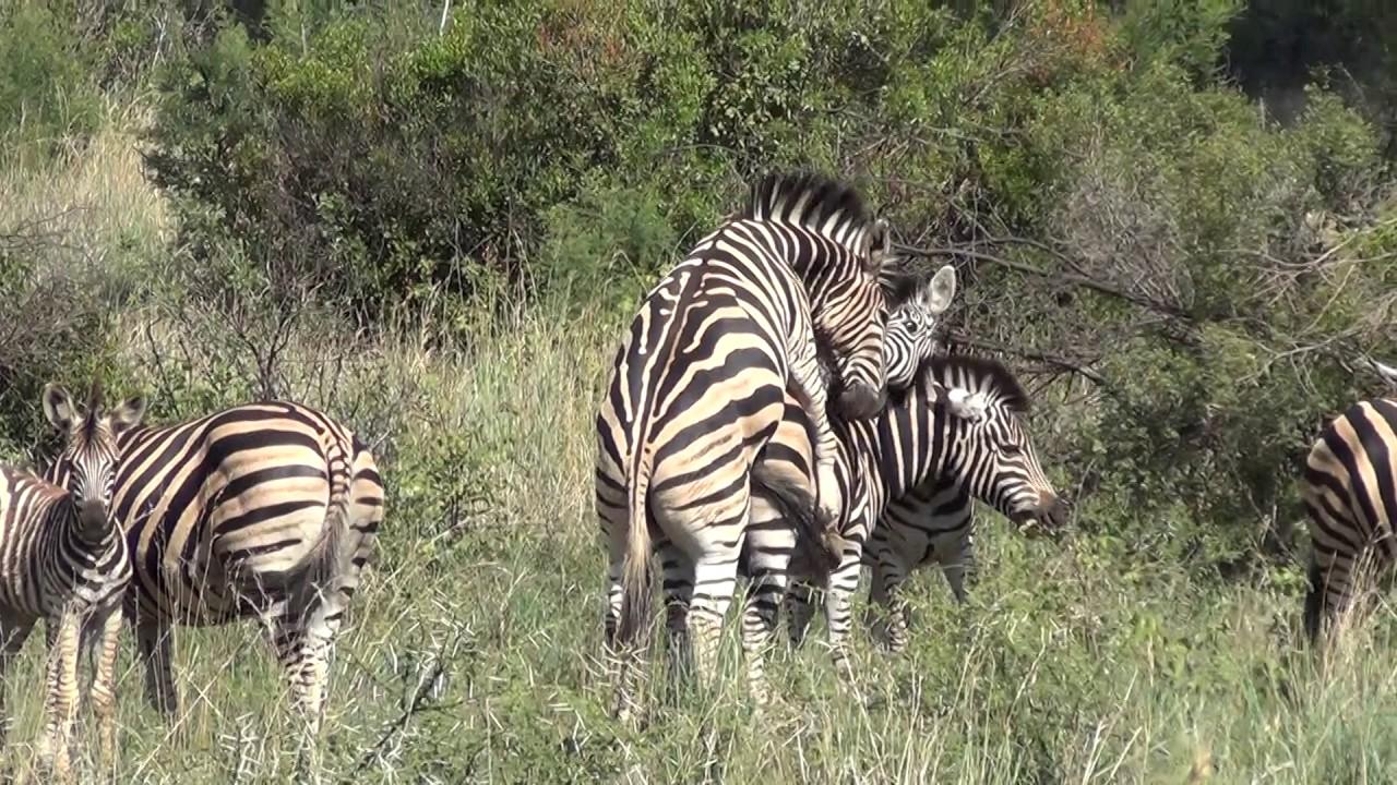 Zebras Mating Youtube