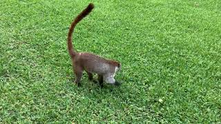 Coati and Agouti at RIU Palace Mexico, May 2019