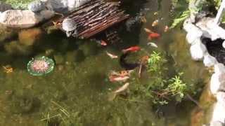 Зоомагазин ,,Золотая рыбка'' в Мурманске(Самый красивый сад и пруд, где обитают золотые рыбки, черепахи и даже морская свинка, во дворе по ул. Мира,..., 2014-08-12T22:19:19.000Z)
