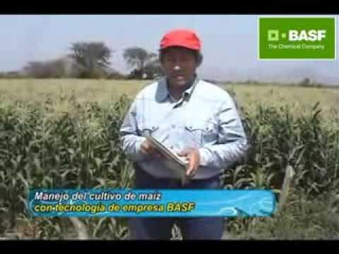 Tecnología Basf en parcela de maíz amarillo duro en Chongoyape, Perú- 2013