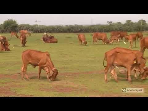 ORGANIC GIR COW MILK AND GHEE PUNE