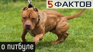 ⭐️ 5 РЕАЛЬНЫХ фактов о собаках породы ПИТБУЛЬ