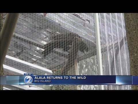 Critically endangered bird returns to Hawaii forest after more than a decade