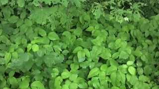 herbalist jim mcdonald praises poison ivy at the International Herb Symposium