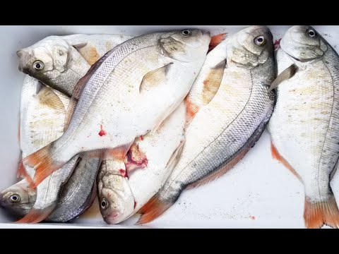 Catch And Cook Surf Perch.  Oregon Surf Perch Fishing