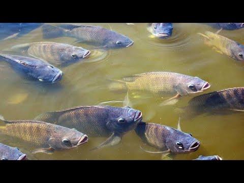 pesca de tilapias no rio em porto de galinhas