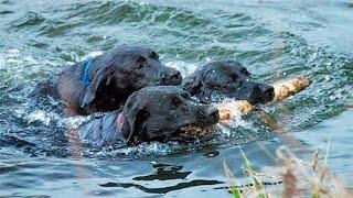 Приколы с собаками. Черный лабрадор выполняет заплыв без страховки!