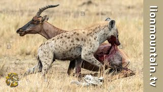 Hyena hunting sleeping Topi on the Savannah | CLASSIC WILDLIFE