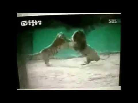 león contra tigre a muerte; peleas reales, caceria ¿cuál es más temerario Low