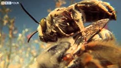 The Life of Blister Beetles - Insect Worlds - Episode 3 Preview - BBC Four
