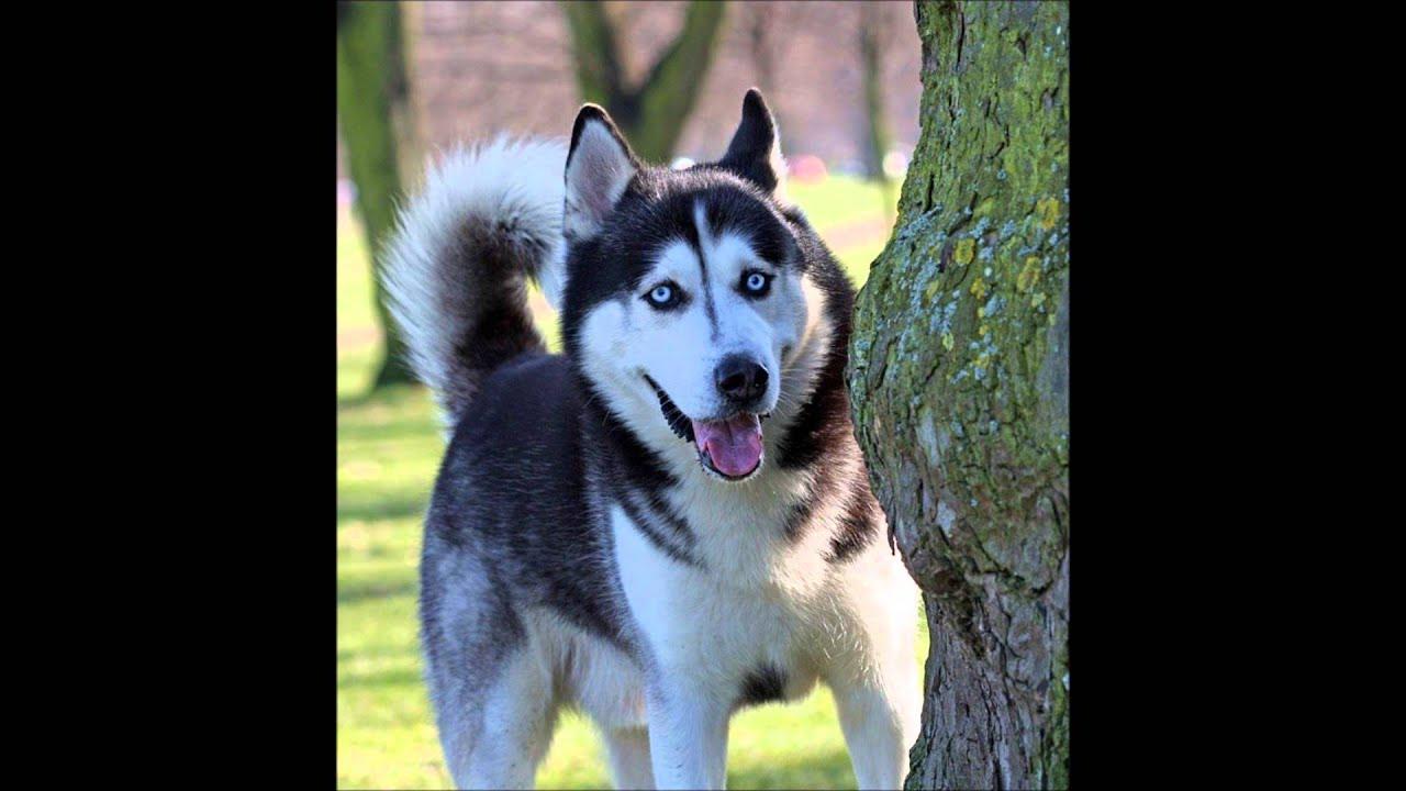 Husky SiberianoPERROCaractersticas e imgenes  YouTube