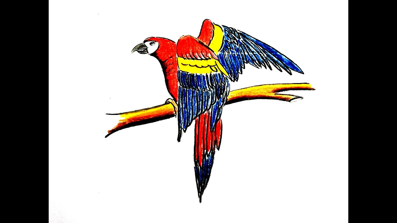 Cara Menggambar Burung Kaka Tua How to draw Parrot