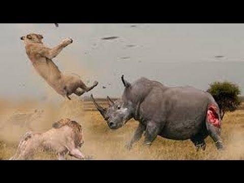 Download Lion Fight vs Rhino - Most Amazing Wild Animal Attacks - Animal Fights HD