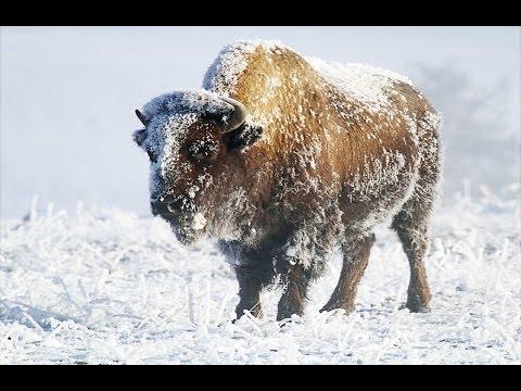 Yellowstone In Winter HD