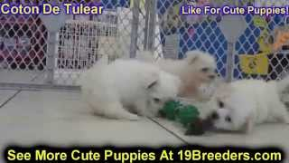 Coton De Tulear, Puppies, For, Sale, In, Rio Rancho, New Mexico, County, Nm, Sandoval, San Juan, Mck
