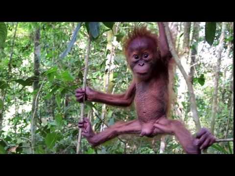 Cutest baby orangutan in the Sumatran rainforest