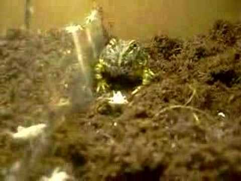Fantasty, and Ornate Pacman frogs, Eat.
