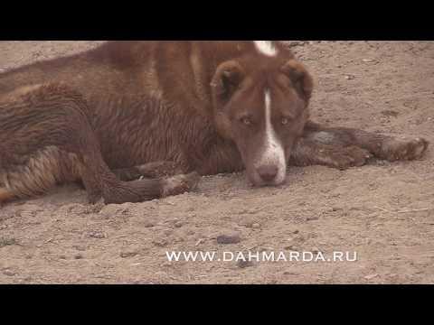 видео: Таджикские овцы гиссарский породы и саги дахмарда из Ромита