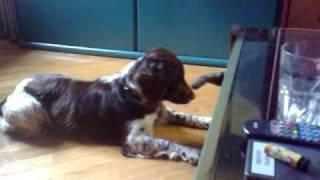Astra My English Springer Spaniel Vs Fufi Cat (part 1)