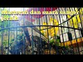 Masteran Dan Suara Burung Sanger Gacor Jernih  Mp3 - Mp4 Download