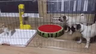 Котик и мопсы