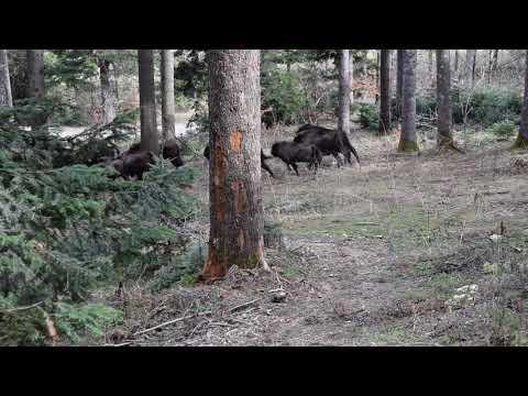 Turmă de zimbri în libertate în Parcul Natural Vânători Neamț din cadrul Romsilva