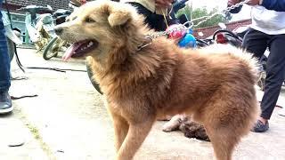 Khám phá chợ chó Bắc Hà, Lào Cai. Phần 2