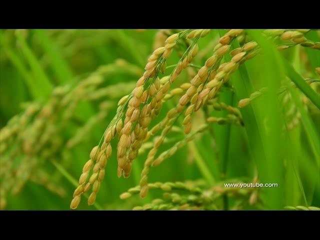 Всё, что мы не знаем о рисе
