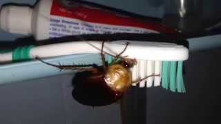 Cockroach Eating Toothpaste