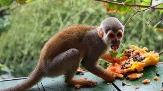 Приколы с обезьянами. Амазонка, Бразилия. Funniest monkeys, Amazon, Brazil.(Онлайн путешествие по Бразилии. В лесах Амазонии в отеле ARIAU AMAZON TOWERS, очень много диких обезьян, которые..., 2015-07-04T07:01:32.000Z)