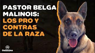 VENTAJAS Y DESVENTAJAS de tener un perro PASTOR BELGA MALINOIS