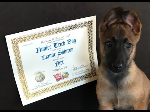 Novice Trick Dog Title With 9 Week Old 'Flirt'