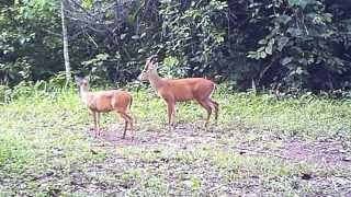 Wildlife Thailand - Muntjac - natural nerves