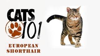 Смотреть видео Европейская короткошерстная кошка (кельтская): фото, видео, цена, описание породы