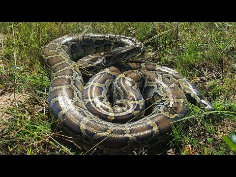 Wow! Brave Man Catch Big Python Snake At The Field While Fishing   How To Catch Biggest Snake