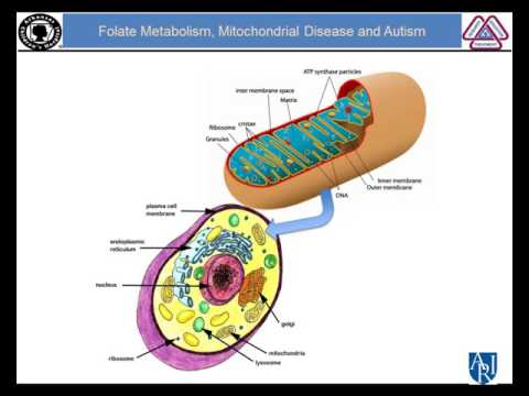 Folate Metabolism, Mitochondrial Disease and ASD - Richard Frye, M.D., Ph.D.