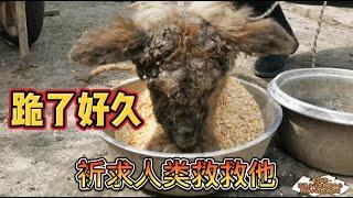 """Dog Rescue In China滿臉都是瘡傷的狗狗 兩年來主人竟然是餵食生玉米粒 劉麗救助站救助時候 它護著這個""""美食""""擔心被搶走 期待的眼神 让人心疼"""