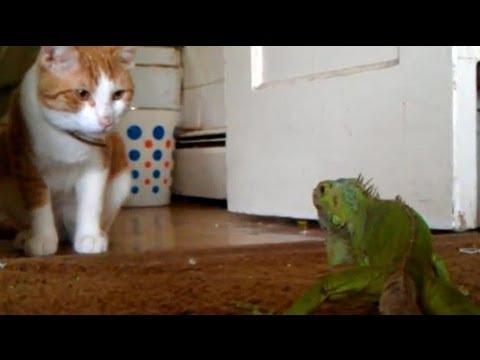 Lizard shows cat whos boss