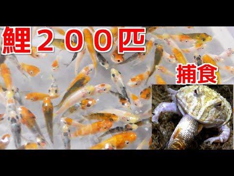 餌用の鯉200匹を購入!ペット達に与えます!