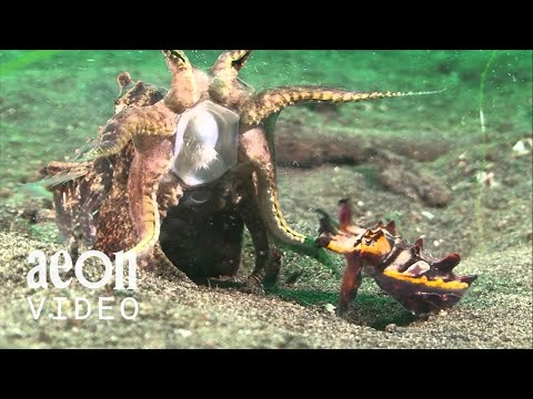 The Wild Life Of A Female Flamboyant Cuttlefish
