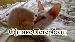 Порода кошек сфинкс Петерболд