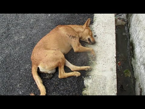 Life-saving rescue of unconscious street dog