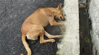 Life-saving rescue of unconscious street dog thumbnail
