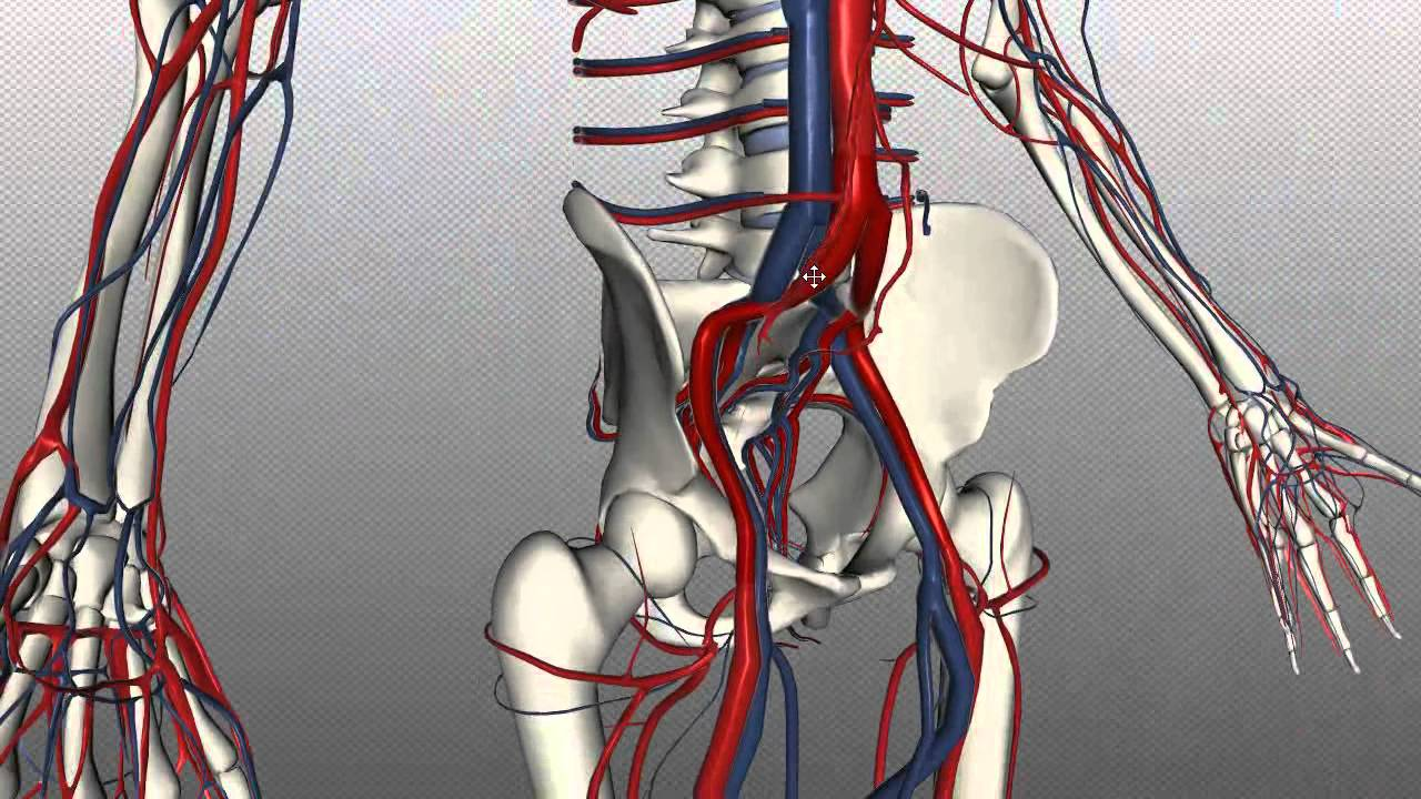 Veins of the body - PART 2 - Anatomy Tutorial - YouTube