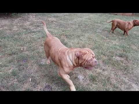 Dogue de Bordeaux patrol