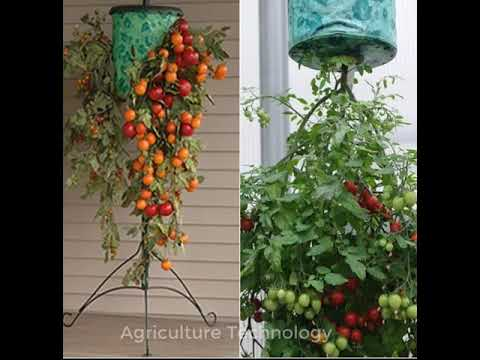 Amazing Tips For Growing Tomatoes Upside Down