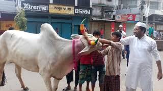 biggest cow qurbani