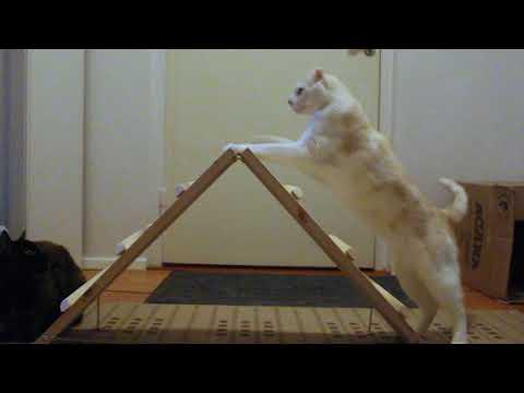 American curl Ragnar training agility A-frame