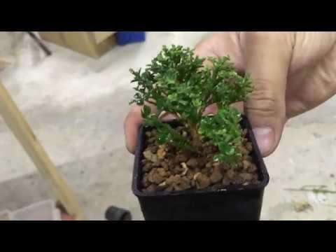 【阿和豆盆栽】達摩七里香換盆3/4 - YouTube