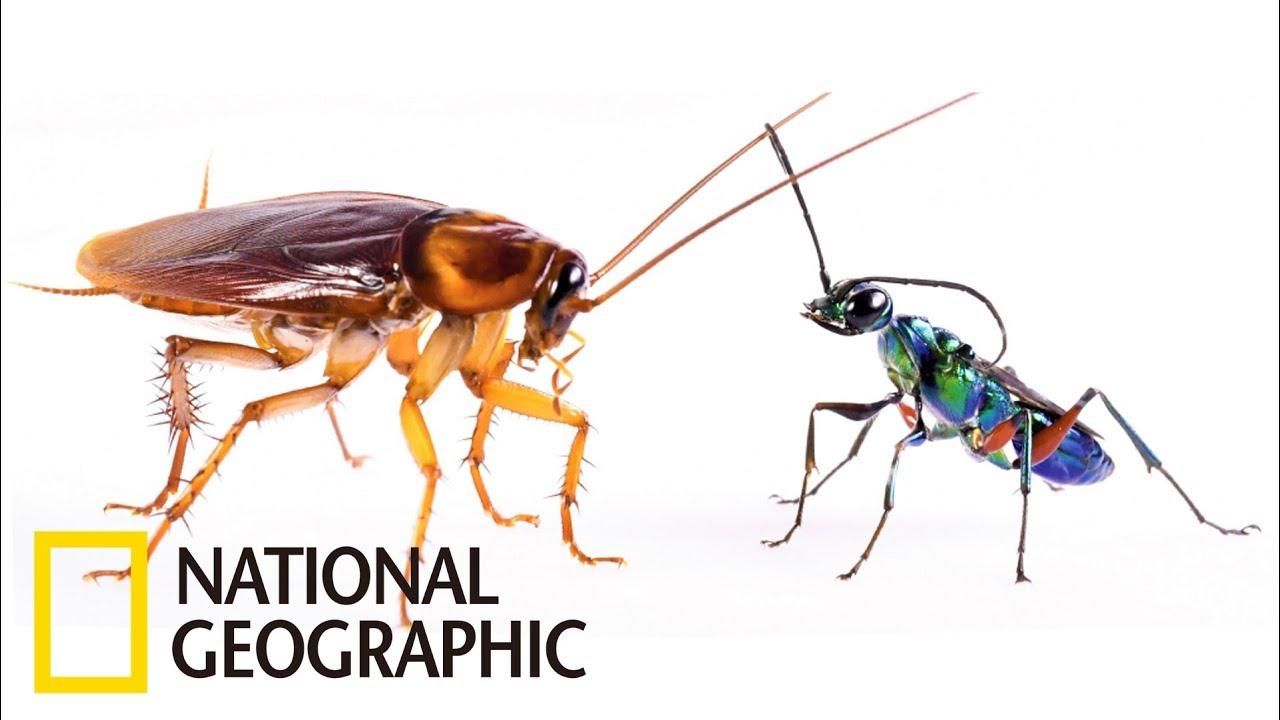 防禦屬性的蟑螂 VS 配備有「殭屍針」的扁頭泥蜂《國家地理》雜誌 - YouTube